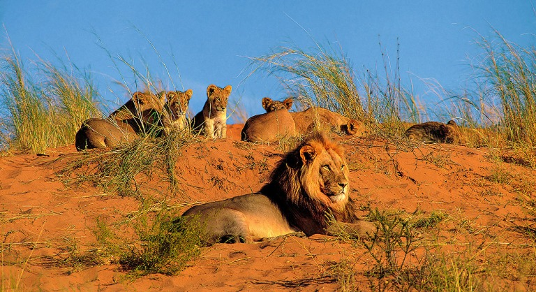 1-slide-africa-namibia-lions-lion-cubs-grasses-sand-mother-and-cubs-pano
