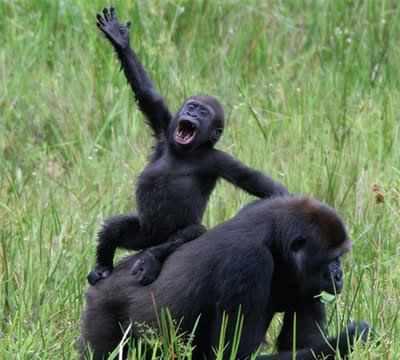 gorilla_waving.jpg
